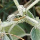 Predatory Assassin bug Zelus (nymph)