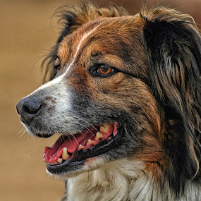 Sage - English Shepherd by Twin Wranglers Baker - Animals - Dogs Portraits (  )