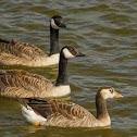 Canada Goose x Graylag Goose hybrid