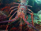 Photo: Langouste