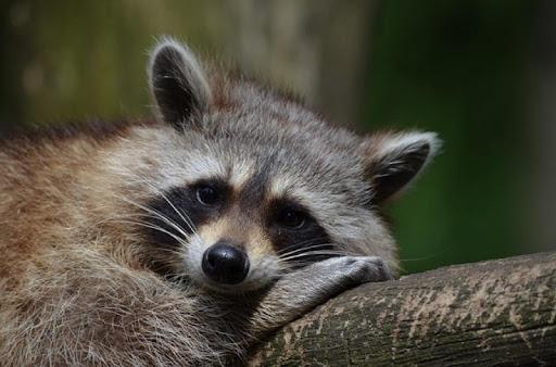 Baby Raccoons Wallpaper Images