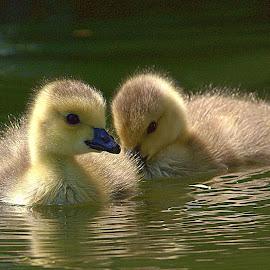 Water Babes by Chrissie Barrow - Animals Birds ( bird, animal, babies, water, pair, goslings,  )