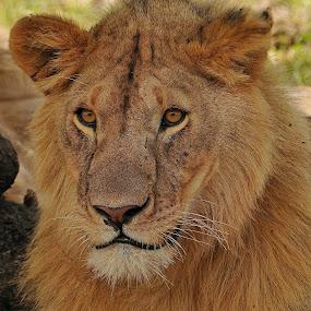 Lion in MAsai Mara by Kjetil Salomonsen - Animals Lions, Tigers & Big Cats