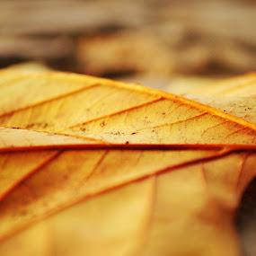 Autumn Leaf by Amy-louise Maszuchin - Nature Up Close Leaves & Grasses ( season, nature, autumn, trees )