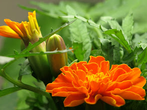 Photo: The marigolds are starting to bloom