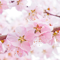 Cherry Blossom Live Wallpapers icon