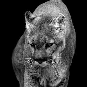 Cougar Walk4 final bw.jpg