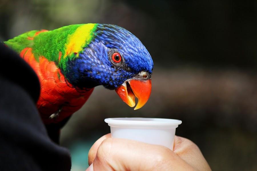 by Asya Atanasova - Animals Birds ( bird, zoo, colorful, colors, feed,  )
