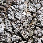 Rosette lichen