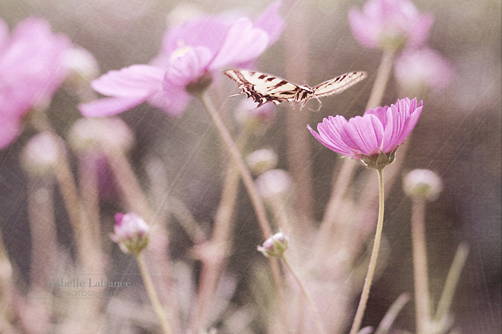 Photo: It's been a while since I had time to post here... Welcome to all the new followers from Mr. Brown circle share, I hope you'll like what you see :) It's a rain/freezing rain greyish kinda day here, and I sooo needed something to remind me that spring was on it's way. So a butterfly it is, texture is my own. For #FloralFriday by +Tamara Pruessner and for #BuggyFriday by +Ray Bilcliff & +Sherry McBriar