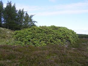 Photo: Wrzosowate: rododendron i wrzos.