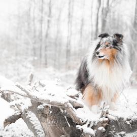 snow  by 'Monique Smit - Animals - Dogs Portraits ( sheltie, forest, snow )