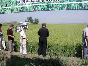 Photo: Dr. Jin Xueyong and others visiting 3-S rice field in Heilongjiong county. [Photo by Norman Uphoff]