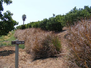 Photo: The horse riding trails and Vetiver hedges in Santa Barbara mentioned by John Greenfield's friend . The Vetiver was planted along the property line. Note the green dense growth in the center of the vetiver, this helps reduce the impact of fire.