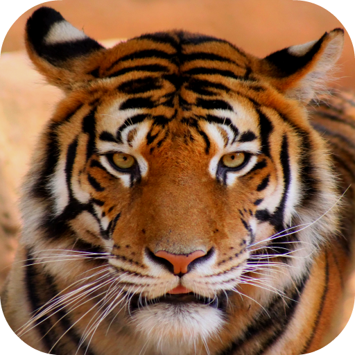 Tiger Sounds - Apps on Google Play