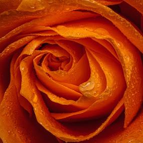 Peach by Bill Killillay - Nature Up Close Flowers - 2011-2013