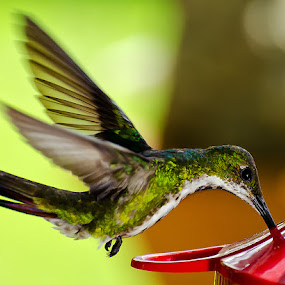 Hummingbird at the Feeder by Edison Pargass - Animals Birds