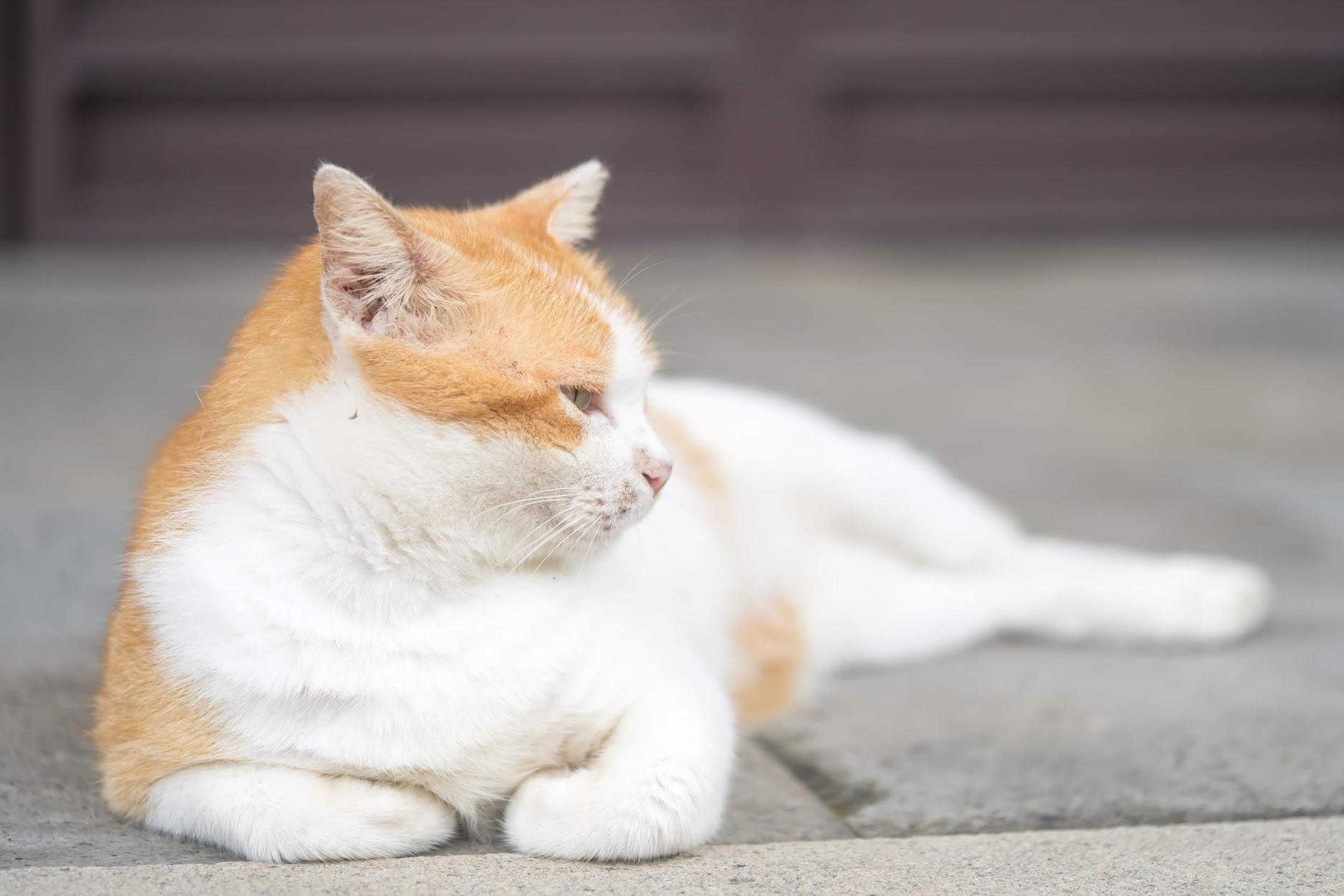 シンガポール 猫5