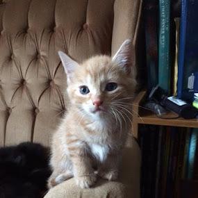 Kitten by Dan Gomm - Animals - Cats Kittens