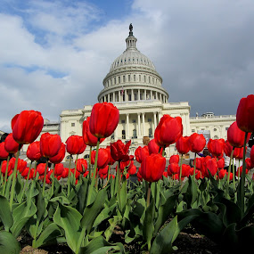 Capitol One by Sunil Pawar - Buildings & Architecture Public & Historical ( clouds, president, one, perspective, washington dc, monument, tulips, capitol, flowers,  )
