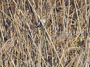 Photo: 撮影者:岡本 昭男 オオジュリン タイトル:葦の虫を食べるオオジュリン 観察年月日:2015年2月10日 羽数:2羽+α 場所:一番橋下流右岸 区分:初認 メッシュ:武蔵府中2K コメント:葦の虫を食べていた。2羽以上いたが川幅の中間より遠かったので双眼鏡だけでははっきりカウントはできなかった。