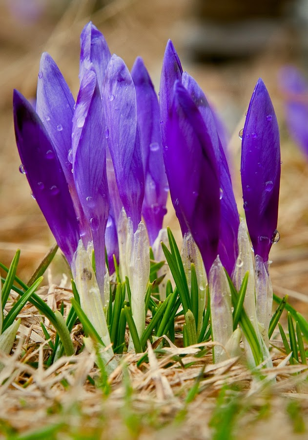 Crocuses by Emil Zaman - Flowers Flowers in the Wild ( spring, mountains, flowers, purple, crocus )