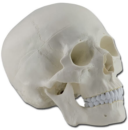 Kranium - Anatomisk modell