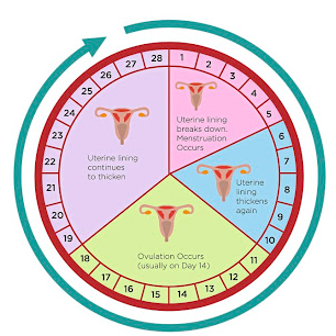The most common menstrual cycle length is between 23 and 35 days.
