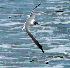 Photo: Laughing gulls