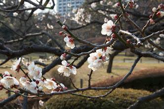 Photo: Sakura in the Hamari-kyu gardens