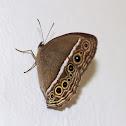 Dark-Branded Bushbrown Butterfly