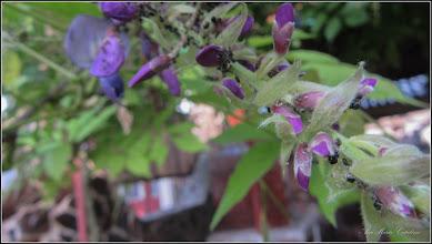Photo: Glicina (Wisteria sinensis) - Din Turda, de pe Str. Nicolae Teclu - 2018.06.12