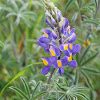 Andean Lupine