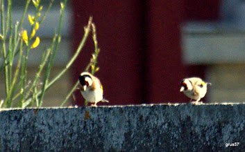 Photo: Щегол,European Goldfinch, (Carduelis carduelis),  Миссалонги