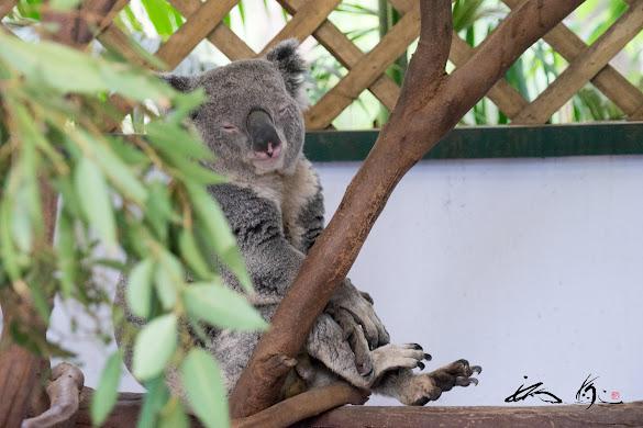 木の上でお昼寝している、可愛いコアラちゃん♡