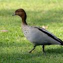 Australian (Maned) Wood Duck