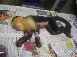 Photo: White face monkey male juvenile: Adopted by Ms. Goss's class to be named Cezar  MF2012-06-022 See other photos of Cezar feeling better!