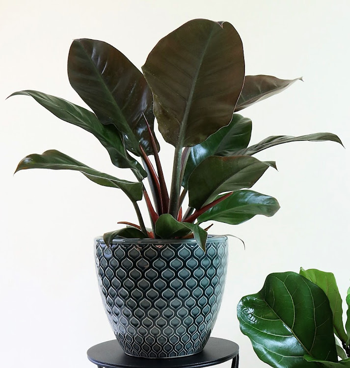 Philodendron plant.