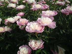 Photo: 千曲の春 花弁がくずれず内弁が淡い黄色で外弁が桃色の強健種