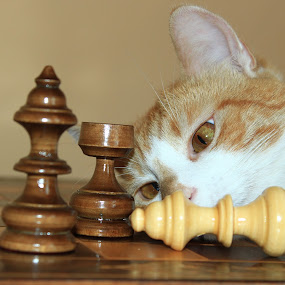 Chess by Forika Helga - Animals - Cats Playing