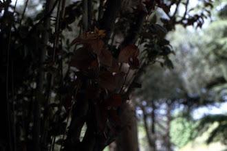 Photo: Hojas de ciruelo de Pissard