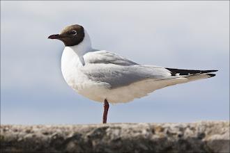 Photo: Bird N°33 Black-headed Gull Latin: Chroicocephalus ridibundus