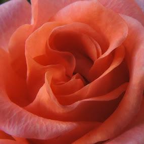 Rose by Nil Jay - Flowers Single Flower (  )