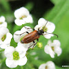 Fairy-ring longhorn beetle