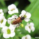 Fairy-ring longhorn beetle