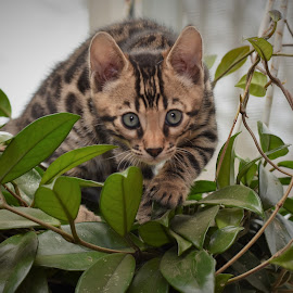 Our little stalker!  by Rob Ebersole - Animals - Cats Kittens