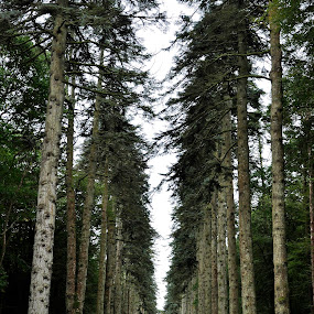 The Noble Fir Walk, Woodstock Gardens in Inistioge, County Kilkenny Ireland by Anna Stephens - Landscapes Forests ( ireland, inistioge, woodstock gardens, county kilkenny, noble fir )