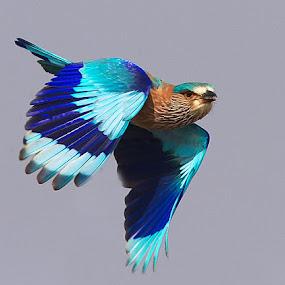 Indian Roller by Jineesh Mallishery - Animals Birds ( wildlife, jineesh, indian roller )