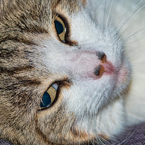 Cat portrait by Tristan Wright - Animals - Cats Portraits ( up close, cat, macro, pet, pets, cute, head up close, close up, pussy cat, eyes,  )