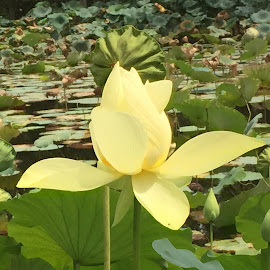 Water lily by Rob King - Novices Only Flowers & Plants